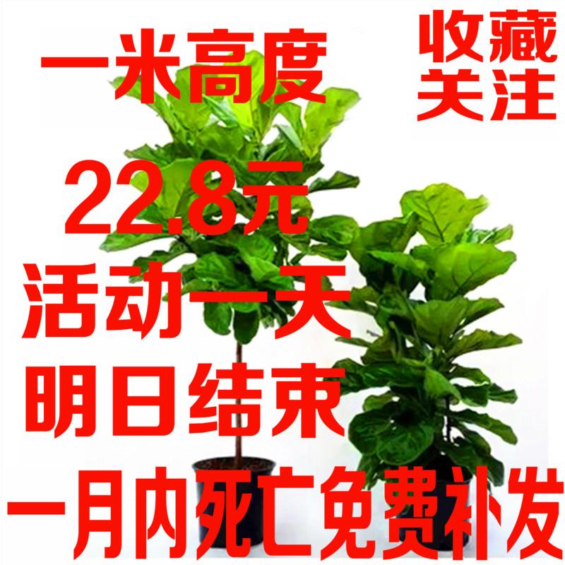 大叶琴叶榕老桩 精品单杆盆栽 室内大型绿植物盆景橡皮树室内观叶