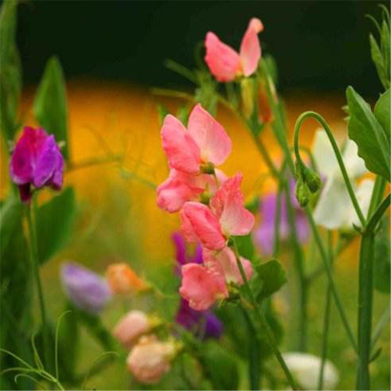【垂吊矮牵牛-酒红星】轻浪F1美国泛美花卉进口种子(包衣)5粒