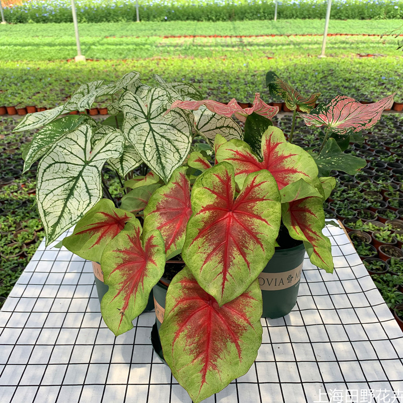 Caladium Arrowroot Houseplants Suitable indoor courtyard Potted plant Rainforest style Landscaping Plants flowersin the Flower delivery/Flowers simulation/Plants gardening , Flowers/Potted plants (New) , Flowers  category - from Buy2taobao.com to provide professional Taobao agent buy service
