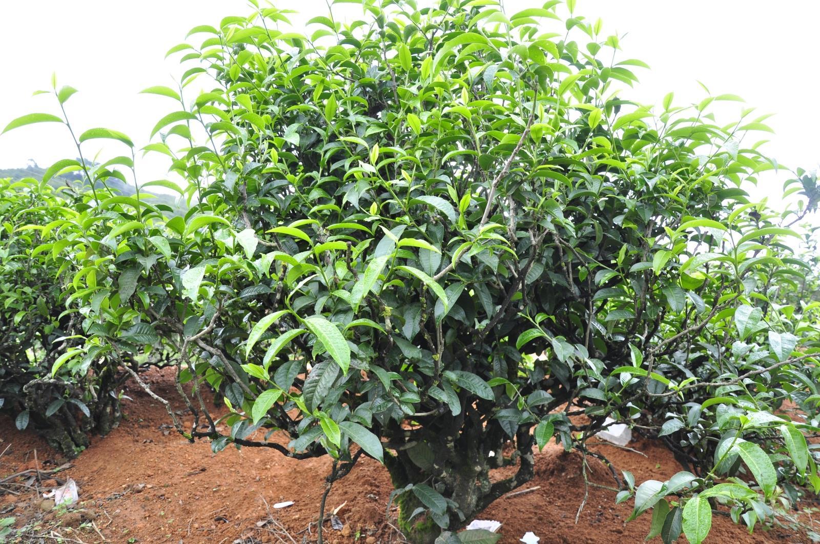 Одинаковый музыка пред- продавать 17 год Мэн склад западный половина гора короткая из тип древний дерево чай весна чай генерал Er сырье чай рот смысл подойдя лед остров