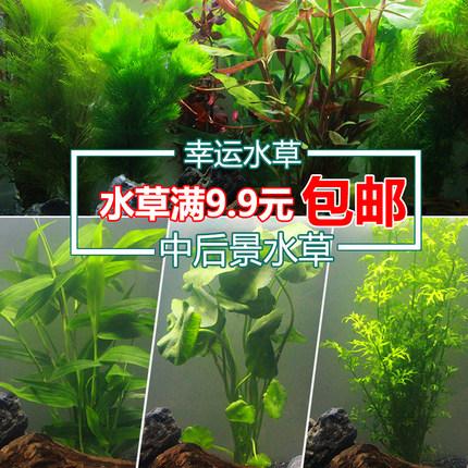 水族造景鱼缸装饰真水草套餐活体绿菊水竹宫廷红波植物中后景水草