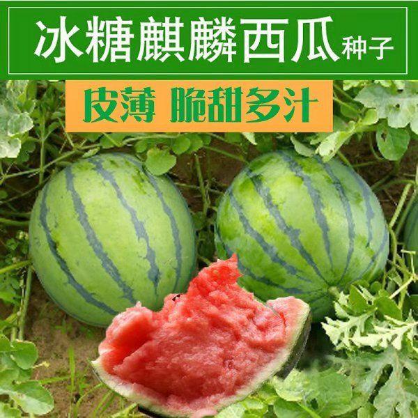ZAOJIA 8424 rock sugar Qilin watermelon seed super large high yield four season vegetable fruit seed lazy giant seed