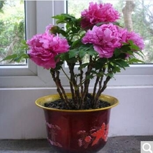 Peony Seedlings, indoor green plants, potted plants for three years, Luoyang Peony Seedlings, Heze flower king