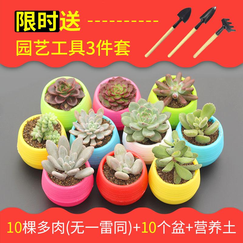 多肉植物新手套餐含盆室内办公室桌面绿植花卉组合小盆栽肉肉种植