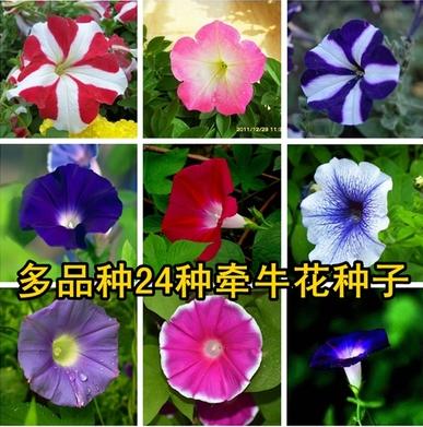 四季易播 ��_花卉盆栽 爬藤攀援 大�颗;ǚN子 庭院花草植物玫瑰