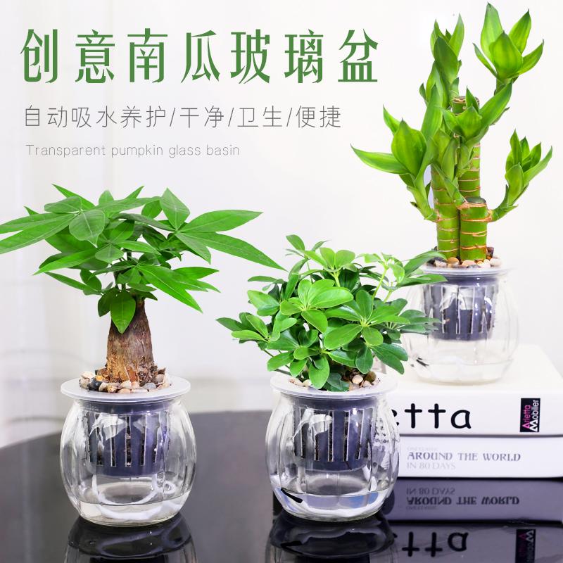 发财树绿萝办公室内绿植桌面小盆栽栀子花九里香好养水培植物花卉