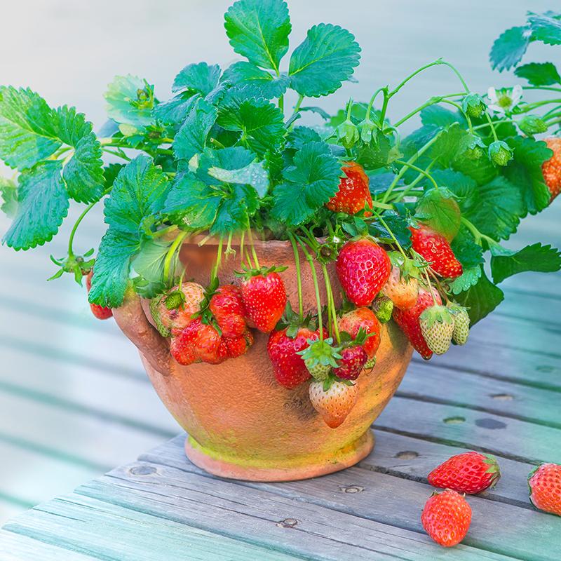 白草莓室内草莓盆栽四季盆栽草莓苗四季开花草莓苗带盆带土包邮