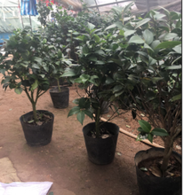 High quality Camellia seedlings Camellia seedlings potted Camellia seedlings planted in four seasons, green plants, balconies, courtyards, flowers in the same year