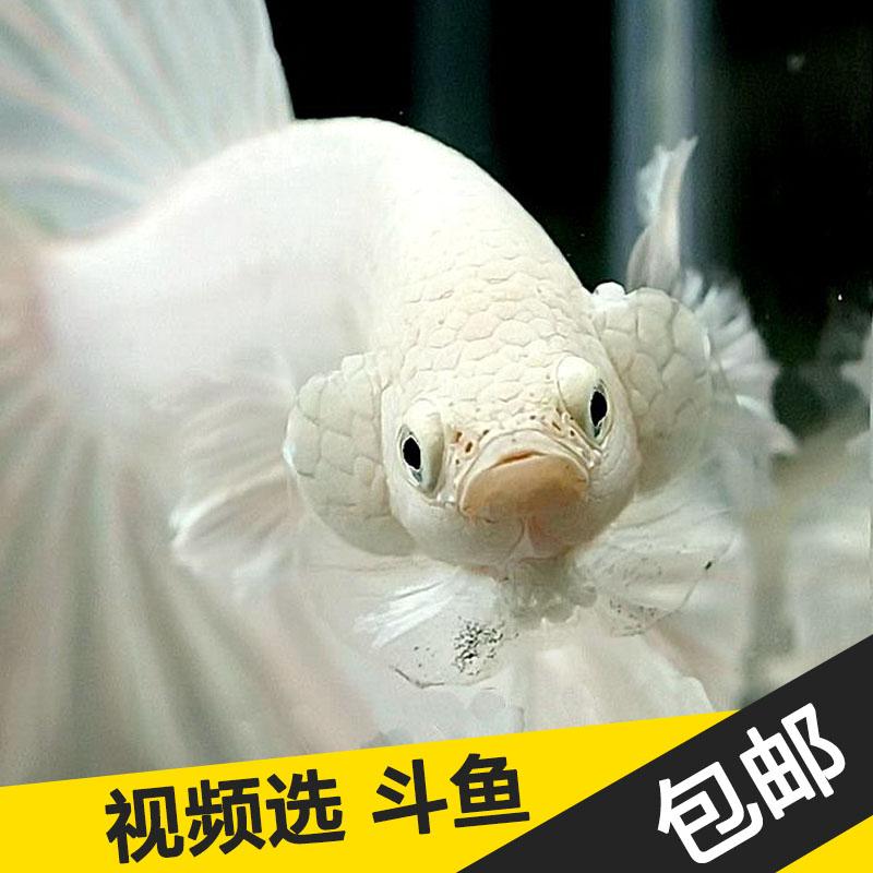 半月斗鱼将军狮王泰国斗鱼活体淡水小型热带鱼观赏鱼宠物金鱼包邮