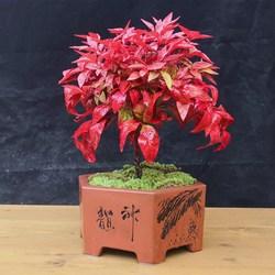火焰南天竹盆栽花苗四季观叶植物盆景耐寒室外花园绿植多年生红叶