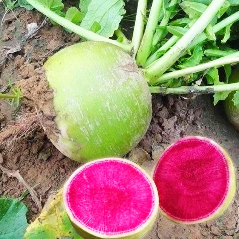 北京心里美萝卜种子 蔬菜种子 满堂红板叶水果红心萝卜籽 四季播5.90元包邮