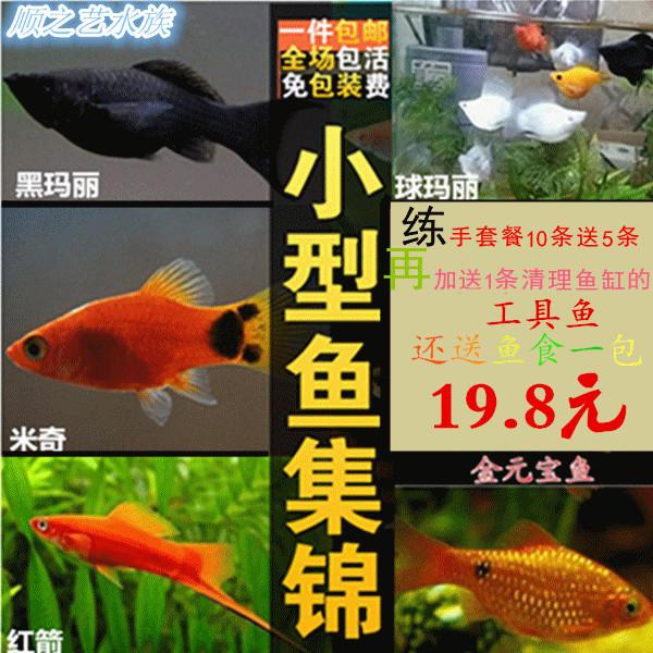 热带观赏鱼活体包邮孔雀鱼胎生小型练手套餐米奇黑玛丽杂袍易混。