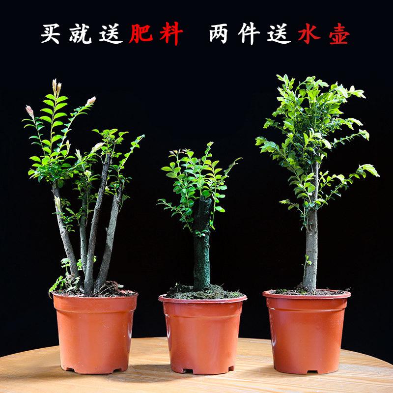 小葉紫檀盆景樹苗花卉盆栽辦公室植物黑骨茶樹樁四季常青耐寒綠植
