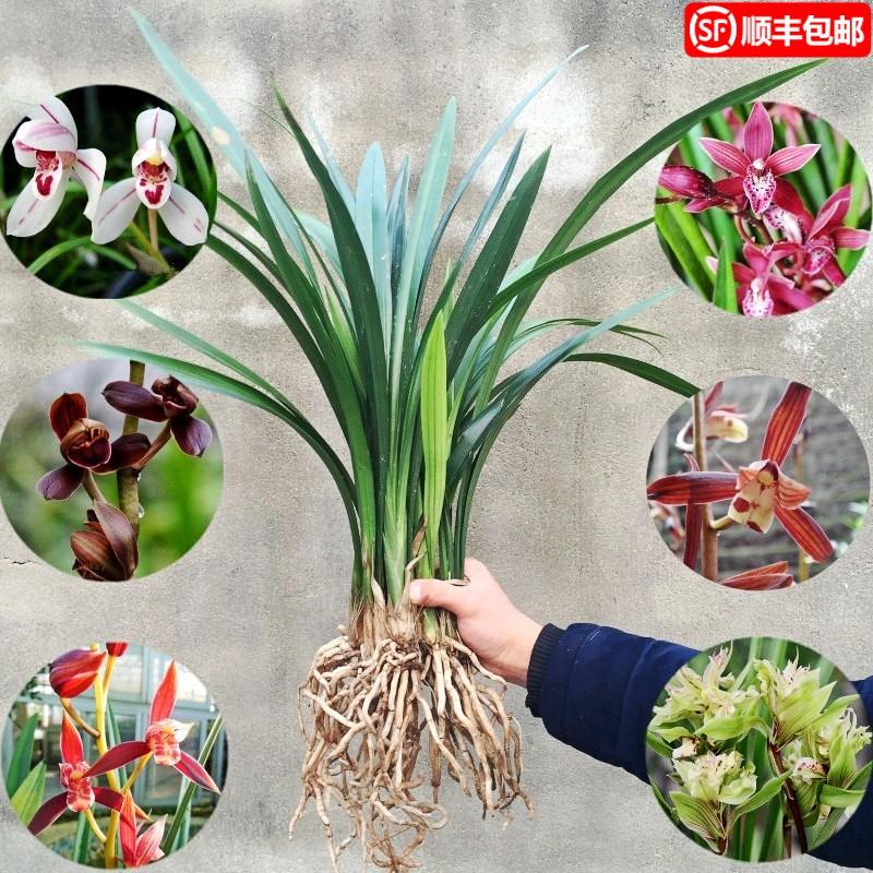 国兰花苗建兰四季兰草美娇娘浓香不带花苞花卉兰花盆栽名贵绿植物