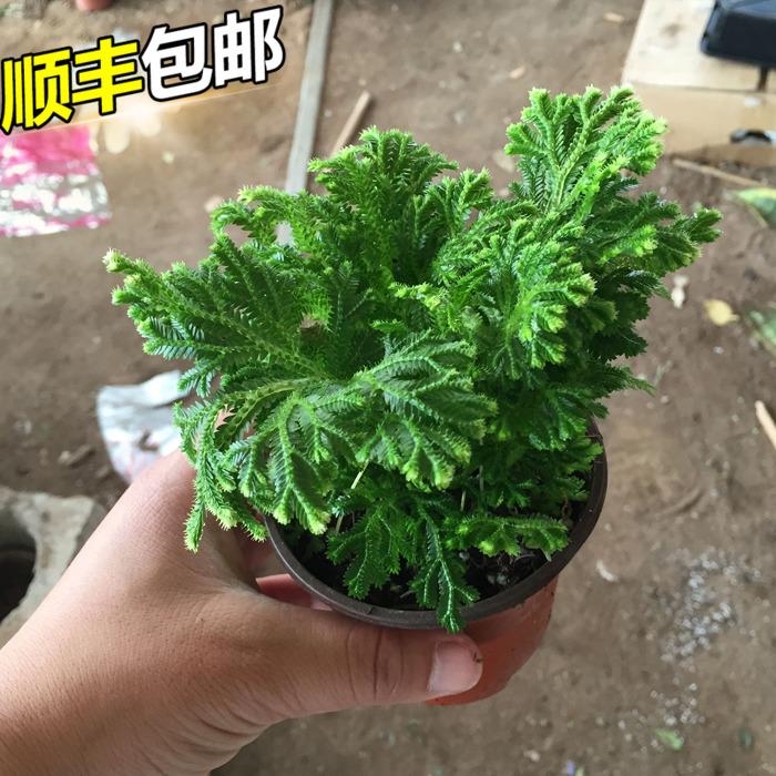 整盆黄疸卷柏 九死还魂草 石柏 岩柏草 蕨类植物 复活草盆栽植物