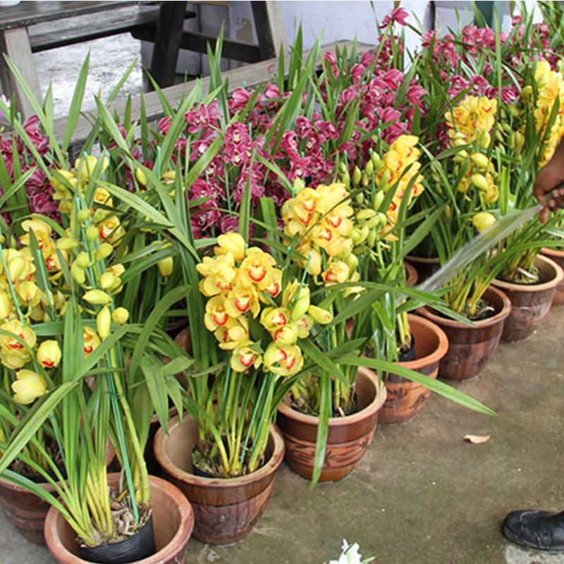 兰花苗带花苞墨兰兰花盆栽花卉植物室内花浓香金边四季兰名贵