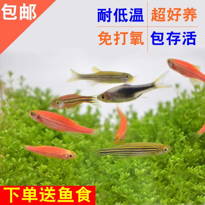 斑马鱼活体热带观赏鱼鱼缸淡水宠物鱼小鱼小型群游鱼好养耐活包邮
