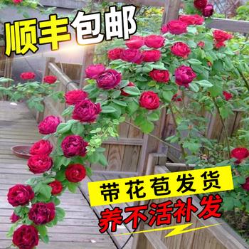 蔷薇花藤本月季大花浓香庭院爬藤苗