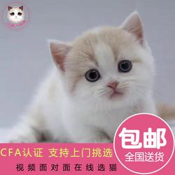 拿破仑 曼基康曼奇金矮脚短腿短毛 曼赤肯腊肠猫活体幼猫猫咪活体