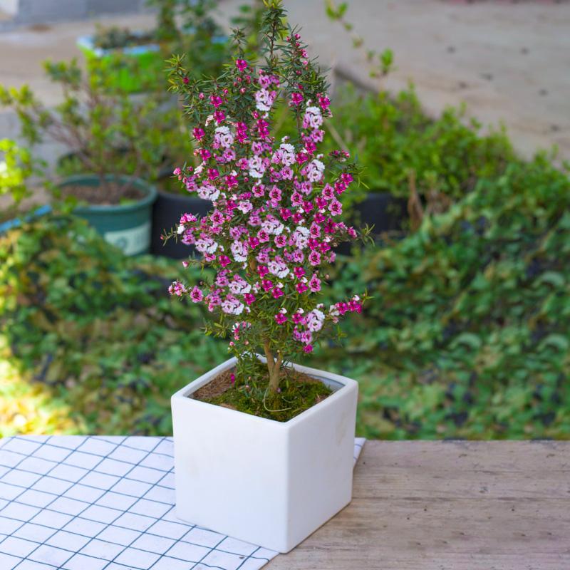 耐寒年宵花卉松红梅盆栽松雪梅澳洲梅四季开花腊梅花盆景多花好养
