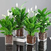 白掌盆栽一帆风顺水培植物办公室内花卉好水养的绿植红掌四季开花