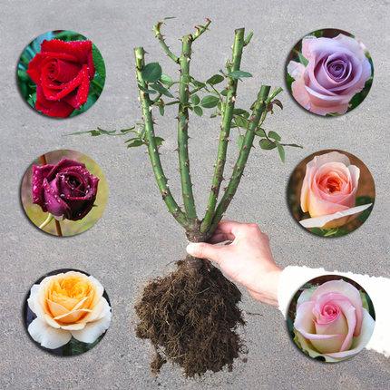 玫瑰花苗大花绿植物盆栽卷后4.01元包邮