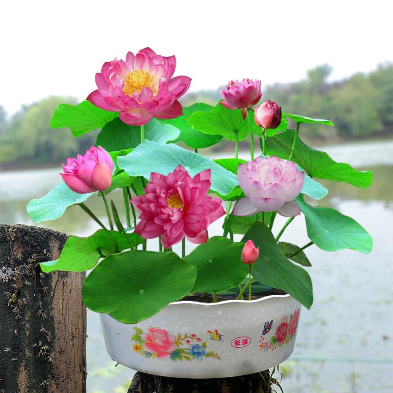 水培植物迷你碗莲睡莲根块根茎带荷花盆已栽催芽水生四季水养莲花