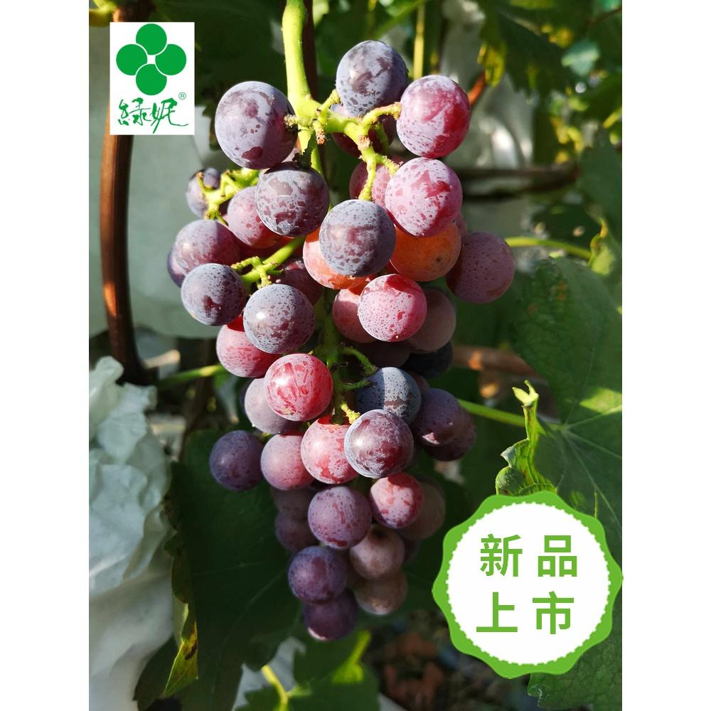 绿妮 无籽现采现摘夏黑葡萄5斤 当季 孕妇水果非新疆巨峰红提包邮