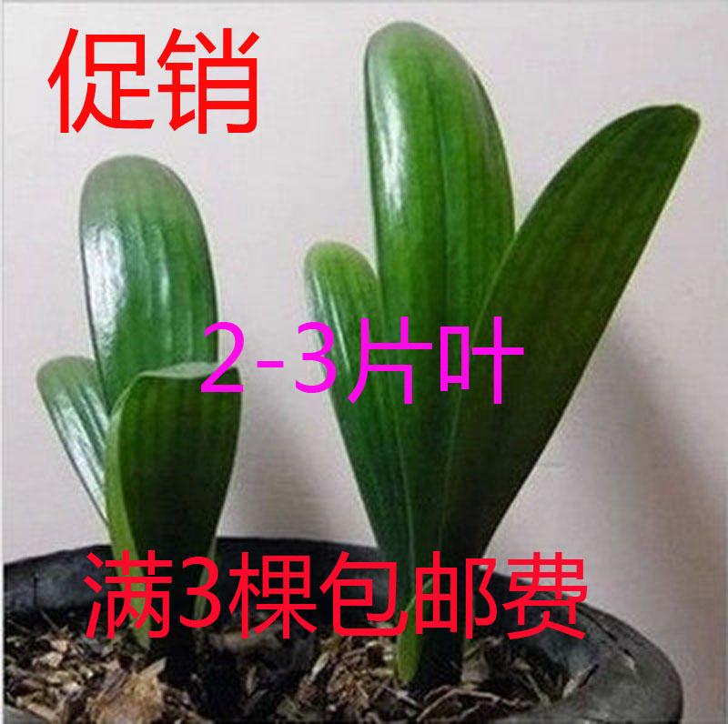 正品君子兰苗室内盆栽蝴蝶兰人气推荐特价花卉绿植兰花苗3棵包邮