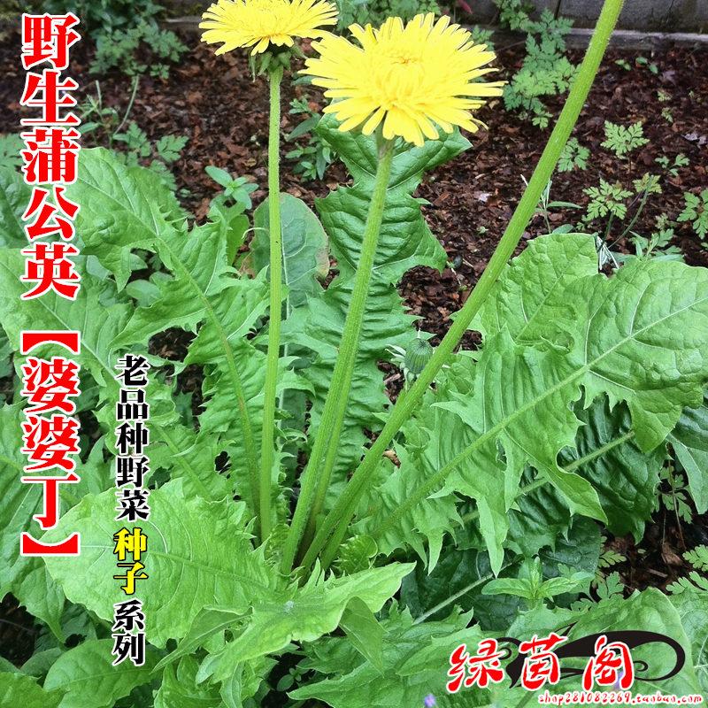 野生蒲公英种籽婆婆丁种孑四季盆栽蔬菜春秋冬季种植药用野菜种子