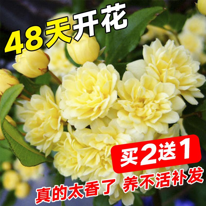 甜蜜红木香花苗爬藤植物白黄木香花四季开花浓香红色花卉蔷薇盆栽