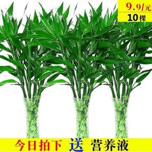 富贵竹水培植物盆栽绿植花卉室内花客厅水养绿萝大叶转运竹节节高