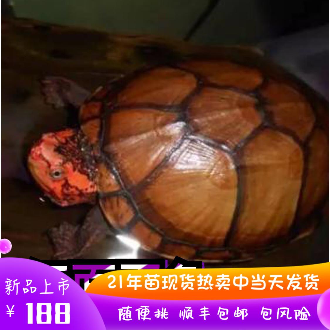 红面蛋进口龟苗乌龟鱼缸宠物观赏活体深水龟红面龟蛋发色龟粮招财