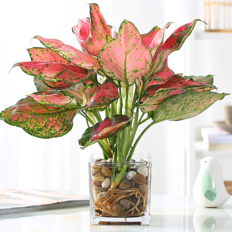 如意皇后盆栽植物室内水培吉祥花净化空气观叶绿植火红万年青花卉