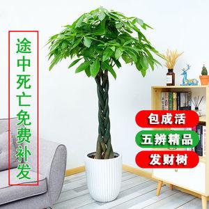 发财树盆栽大树桩客厅办公室内四季常青植物开业招财发才大型绿植