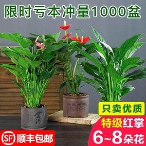 红掌白掌盆栽植物室内大花卉水培养土培绿植常青一帆风顺鸿运当头