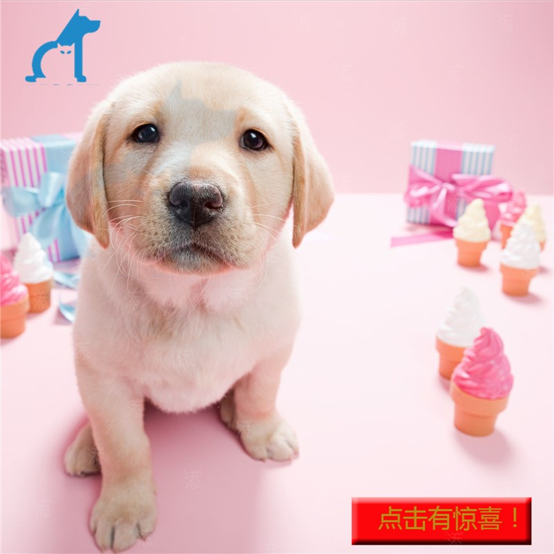 Sale of pure Labrador puppies, guide dogs, milk white Labrador puppies, pet dogs