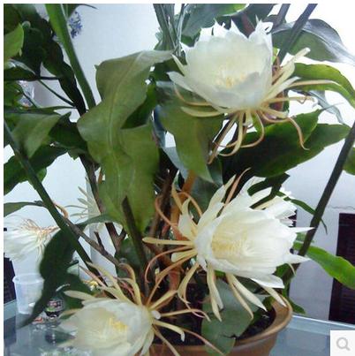 室内阳台庭院植物昙花苗花卉昙花一现适合新手养殖绿色盆栽盆景苗