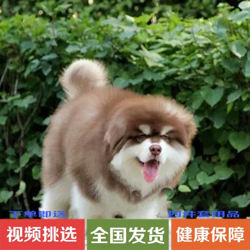 纯种红色阿拉斯加活体幼犬活体雪橇犬大骨架熊版萨摩二哈宠物狗狗