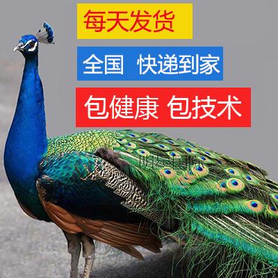 蓝孔雀苗 孔雀活体 宠物鸟活体观赏鸟全国包活发货/量大包邮包邮