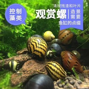苹果螺斑马螺观赏螺除藻螺彩蛋鲍鱼螺鱼缸宠物活体工具螺黑金刚螺