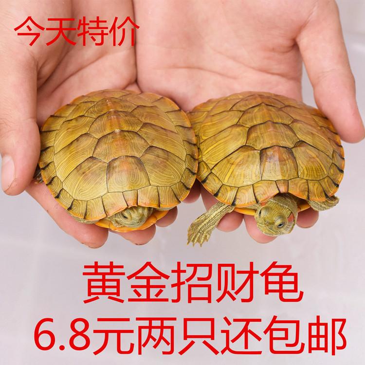 热销0件假一赔十一对小乌龟活体淡水小宠长寿龟苗