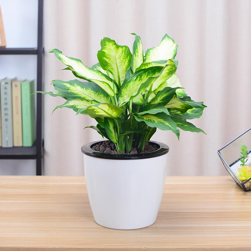 粉黛万年青银皇后小盆栽办公室内桌面绿植花卉植物吸甲醛水培包邮