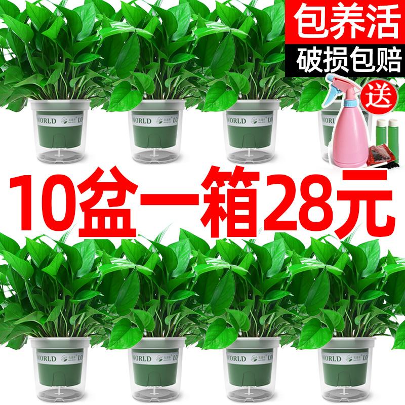 绿萝盆栽花卉植物室内吸除甲醛盆景绿植水培好养长藤垂吊大叶绿箩