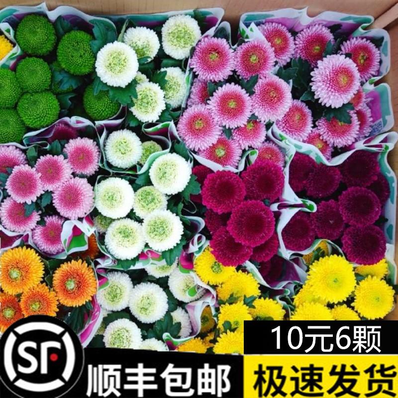 乒乓菊盆栽重瓣球形菊花苗室内阳台开花植物带花花卉花期长耐寒
