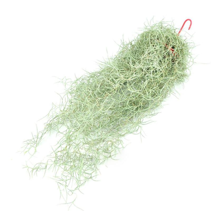 无土的植物空气凤梨银叶松萝老人须植物窗帘20cm长-休宁松萝(强森园艺旗舰店仅售14.5元)