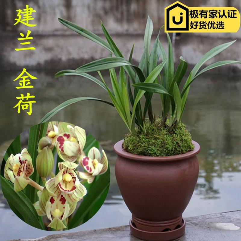 易开花兰花矮种 四季兰建兰金荷 兰草花花卉盆栽客厅室内观花植物