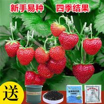 草莓种子四季结果好养易活室内外阳台蔬菜水果盆栽植物花种子籽子