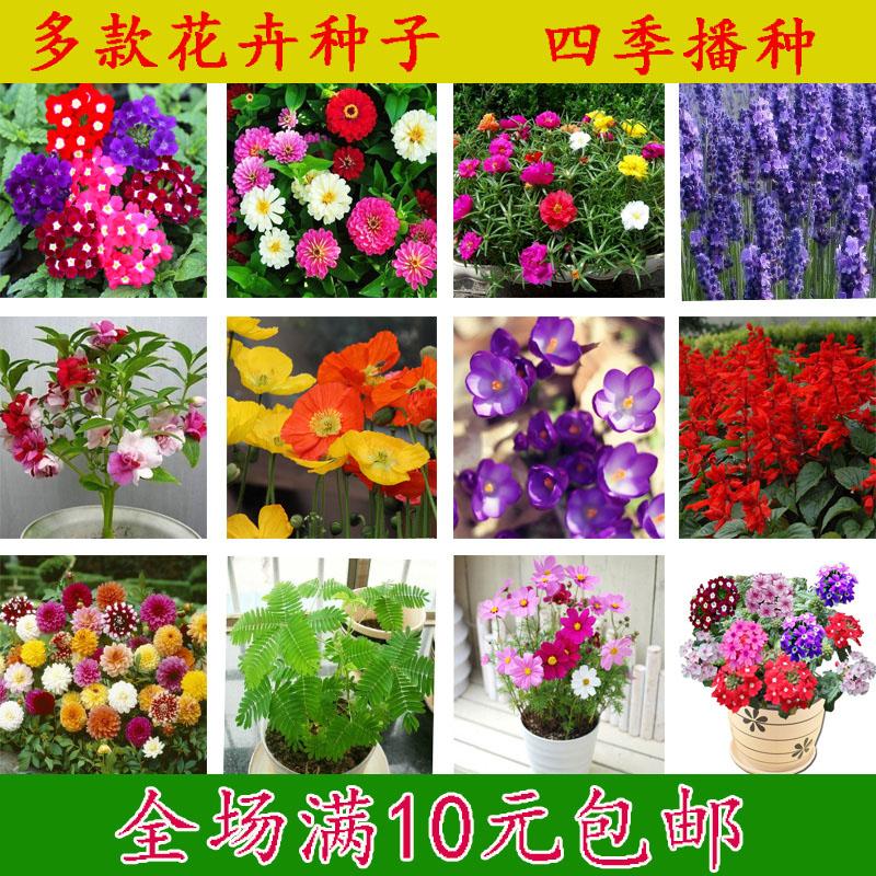 四季播种花卉种子太阳花满天星五彩石竹长春花康乃馨阳台盆栽花籽