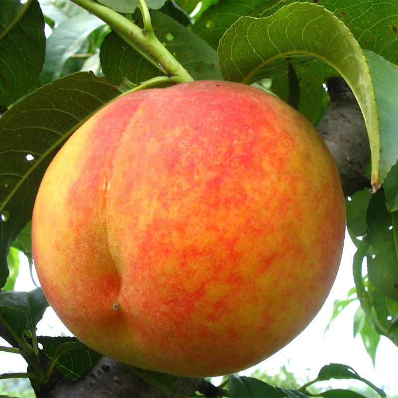 黄桃新鲜水果时令当季现摘现发孕妇现货5斤包邮批发非水蜜桃毛桃